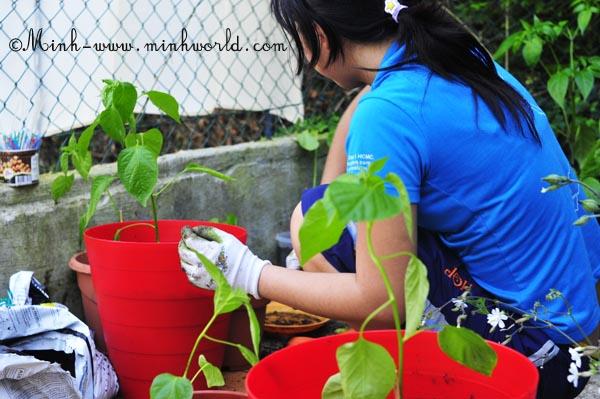 Vườn ớt của tớ