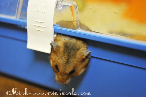 hamster-4