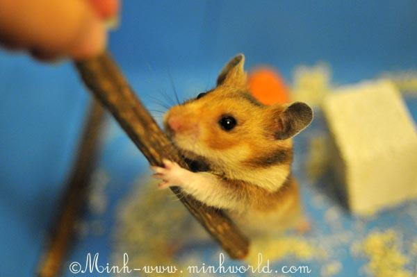 hamster-6