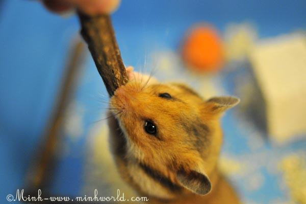 hamster-8