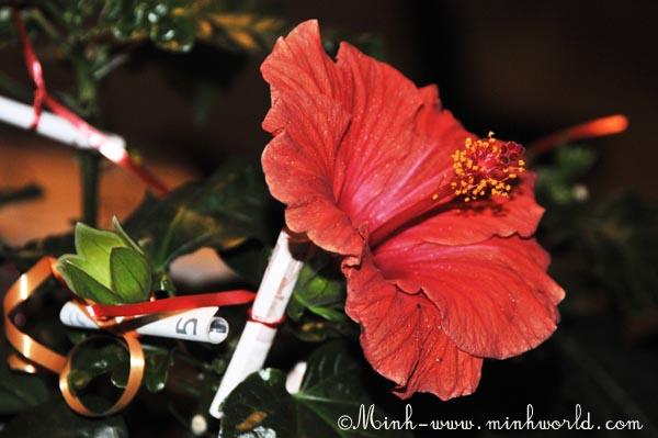 hibiskus-3